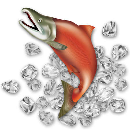 chinook: Illustration of the jumping sockeye salmon. Or red salmon.