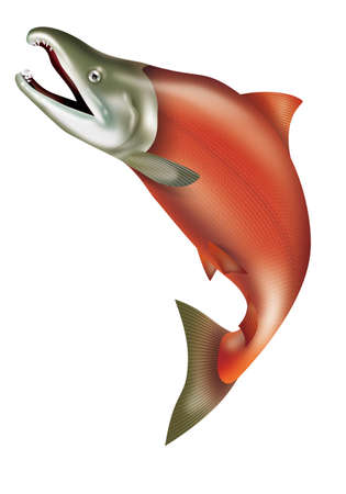 Illustration of the jumping sockeye salmon. Or red salmon.