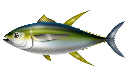 Illustration of yellowfin tuna.Thunnus albacares.