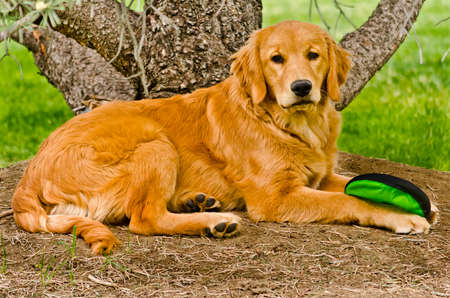 Young Golden Retriever Lying Down Under Pine Tree photo