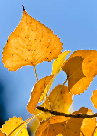 cottonwood: Golden Fall Leaves with Blue Sky Background