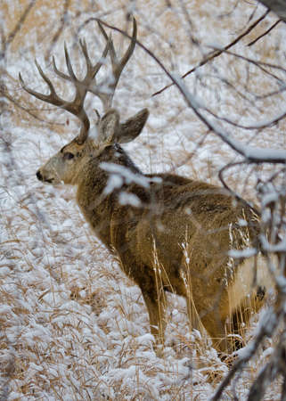 Buck Deer with Antlers Walking through the Snowy Branches