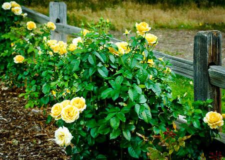 yellow roses: Rosas amarillas en la floraci�n largo de una valla de jard�n de madera
