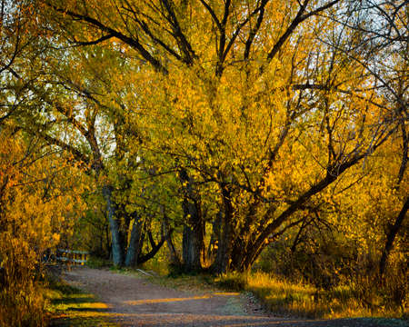meetup: Walking Path Lined with Trees of Golden Fall Leaves