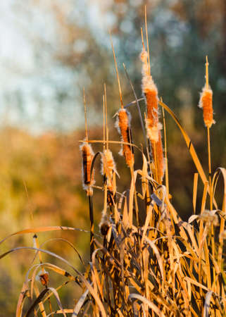 cattails: Cattails In Fall Dispersing Seeds Stock Photo