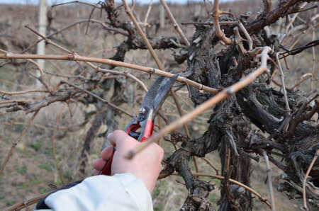 pruning scissors: Pruning vines with red scissors