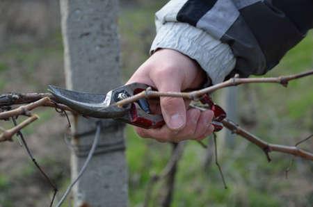 pruning scissors: Pruning vines with red scissors