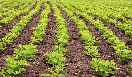 ground nuts: rows of peanut plants  Stock Photo