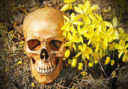 fistula: still life with human skull and Cassia fistula flower  Golden Shower Flower  on dry cracked ground   Stock Photo
