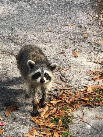 Cute raccoon looking for food photo Archivio Fotografico