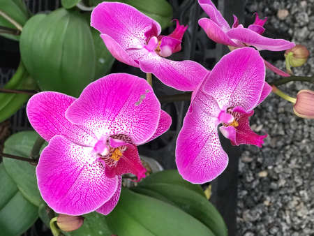Orchids Tropical pink, Photo