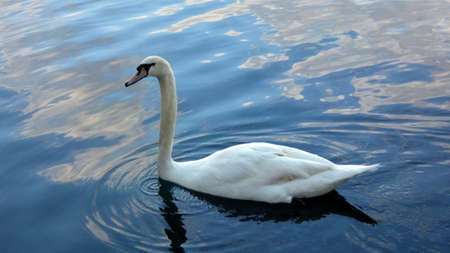 Swan in lake swimming peacefully. Photo image