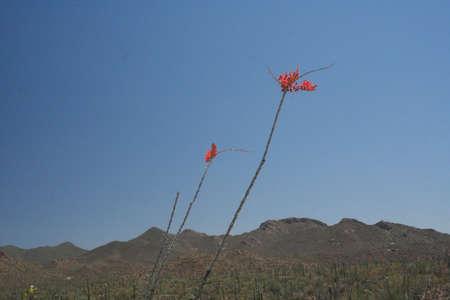 ocotillo: Ocotillo Cactus Blooming in Spring in Arizona Stock Photo