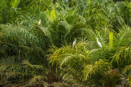 wil: white herons sitting on the palm trees