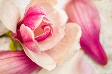 pom: pink rose on the pink soft rug on nature background