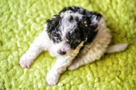 cute white and black puppy with curly hair sitting on green rug at home