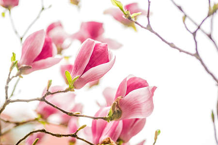 white, pink and purple chinese magnolia flowers on a tree ona sky background Stock Photo