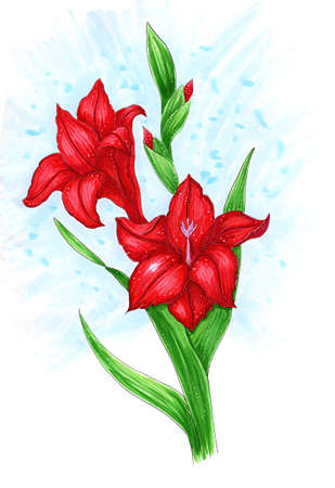 red gladiolus flowers on a stem with buds isolated on white hand-drawn illustration made with markers Standard-Bild - 104234559