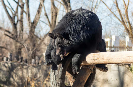 black bear playing on a wooden trunk in Beijing zoo, China