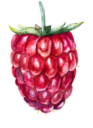 Summer fruit. Watercolor illustration of a raspberry isolated on white hand drawn illustration with clipping path