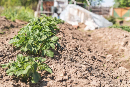 Gardening concept. Young green potato sprouts in a row in the soil on the farm Stockfoto