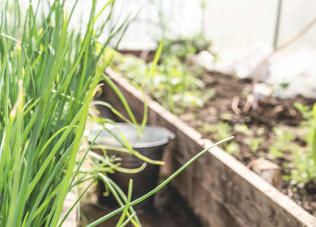 Young green scallion onion springs in a greenhouse. Gardening, growing and harvesting concept.
