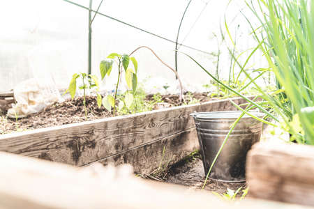 Gardening, growing and harvesting concept. Old wooden greenhouse in a farm with a metal bucket and sprouts of plants Stock Photo