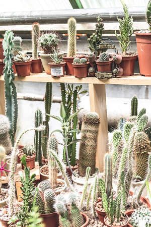 Gardening concept. Cacti in pots on the shelves growing in the greenhouse