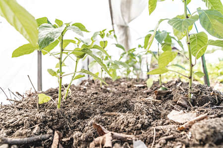 Gardening concept. Young green tomato seedlings in the greenhouse in a row