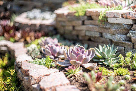 Miniature succulent plants. Gardening concept. Echeveria succulents in the garden in a sunny day