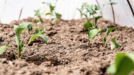 Gardening concept. Young green potato plants in a row in the soil on the farm in the greenhouse