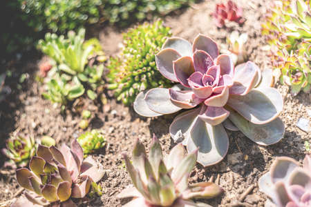 echeveria succulents in the garden in a sunny day