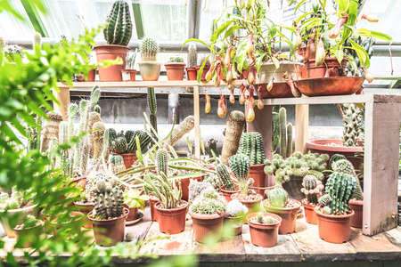 Gardening and growing concept. Cacti in pots growing in the greenhouse