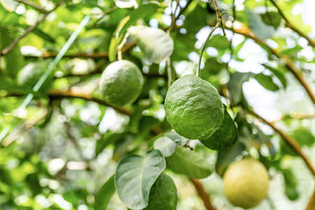 Gardening and growing concept. Upripe green lemons hanging from a tree in a lemon grove