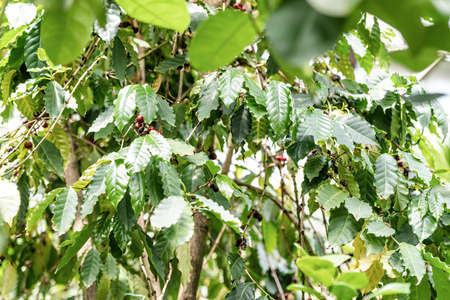 Gardening and planting concept. Close up coffee plants tree with ripe coffee beans