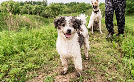 Two dogs walking in the park or hiking with the owner in a summer day