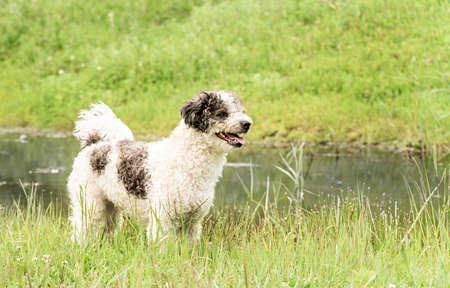 Bichon frise mixed breed dog standing in the grass in the park near the pond in summer day Imagens