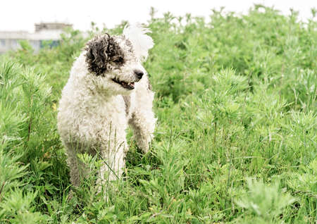 Bichon frise mixed breed dog standing in the grass in the park in summer day
