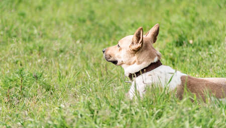 adorable mixed-breed shepherd dog laying in the grass in the summer day