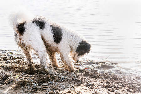 Cute adorable Bichon Frise dog digging sand by the river Imagens