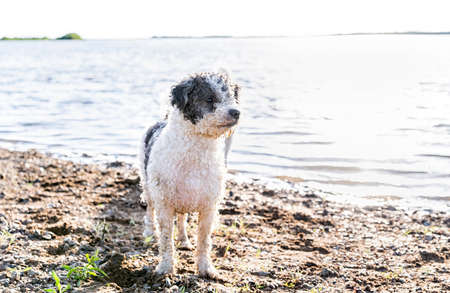 Cute Bichon Frise dog walking by the water