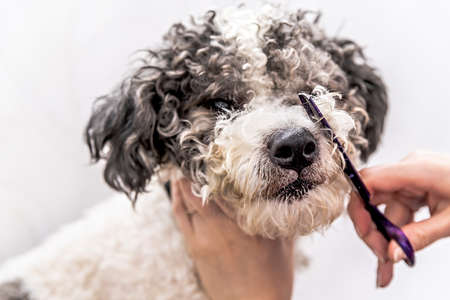 cute white and black bichon frise dog being groomed by professional groomer