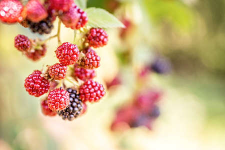 group of ripe and unripe blackberries growing on the bush in sunny summer day with green leaves background Imagens