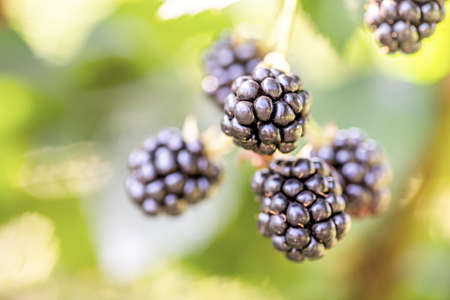 group of ripe blackberries growing on the bush in sunny summer day with green leaves background