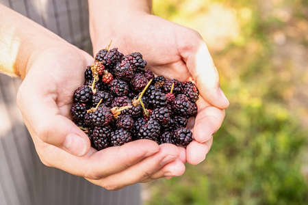Farmer hands with freshly harvested blackberries on nature background