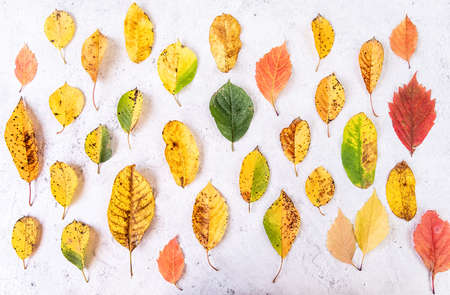 Autumn concept. Colorful automn leaves top view flat lay on white marble background