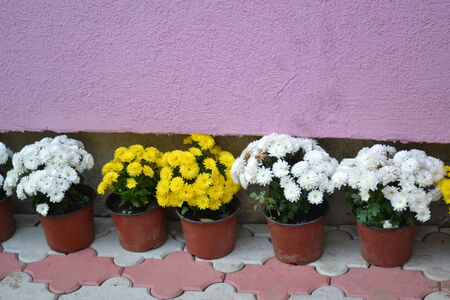 Winter roses in pots on the track   photo