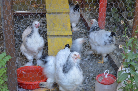 Chickens in the cage