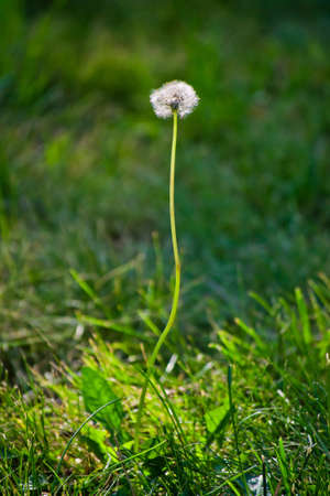 overblown: single dandelion on a green background