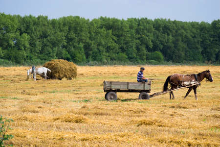 at came: horse in harness came to collect a haystack